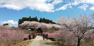 風土記の丘のしだれ桜