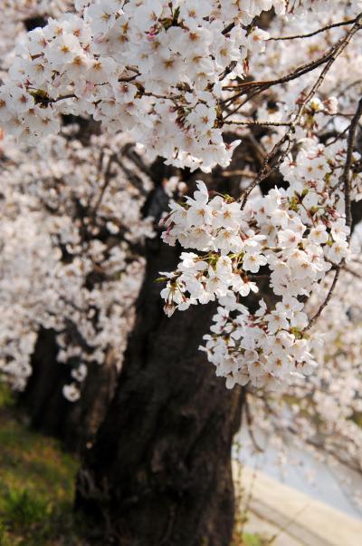 東一口排水機場前川堤の桜並木