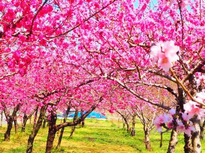 山梨へ☆彡満開な桜~桃~春色求めて☆彡