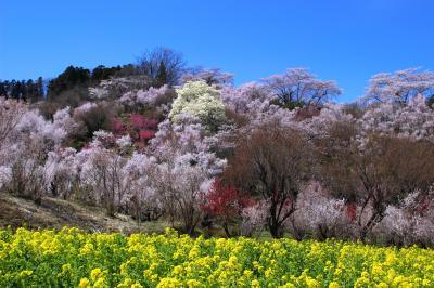 ◆百花繚乱・福島の桃源郷・花見山 ,2019 , Part1