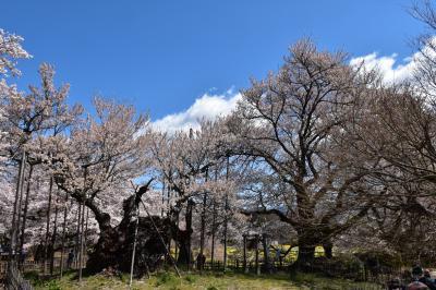 甲斐の国の桜めぐり(1) 山高神代桜