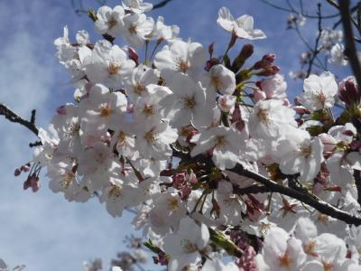 星桜を見たい!三溪園に行ってみた