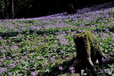紫紅色のカタクリの花群生地丹波へ