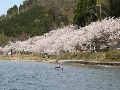 滋賀・海津大崎 満開の桜クルーズ