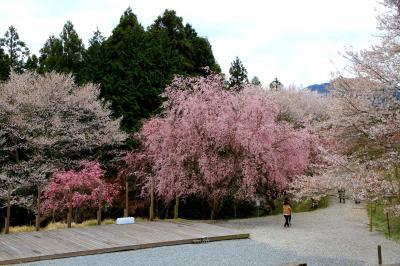 神河町の桜華園 約240種3000本の世界の桜が鑑賞できるそうです。