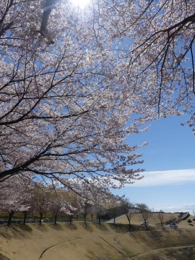 「八王子山公園墓地」のサクラ_2019_散り始めていますが、まだ十分綺麗です。(群馬県・太田市)