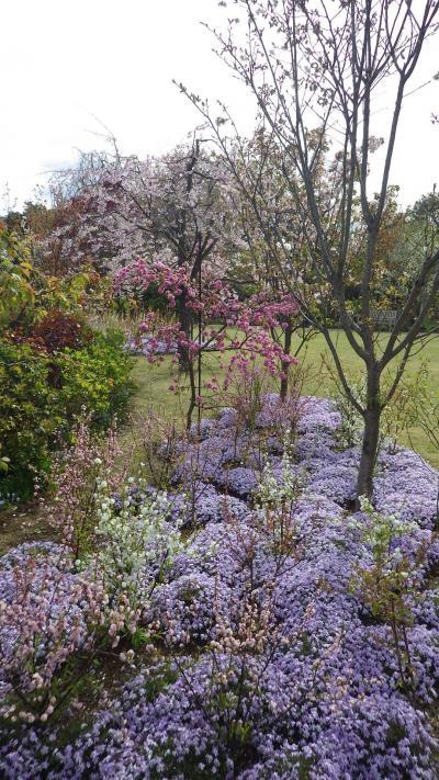 桜とバラのはざまも豪華、横浜イングリッシュガーデン
