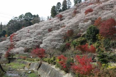 小原四季桜まつりと紅葉