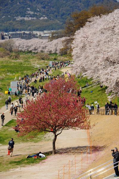 2018年八幡桜だより06・背割堤桜並木3-後編