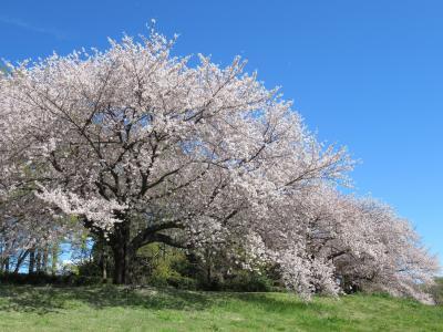 大宮第二公園の桜 2019/4/11