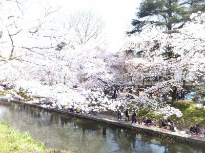 金沢産業会館骨董市から富山市城址公園(松川沿い)のさくらを見に行く。