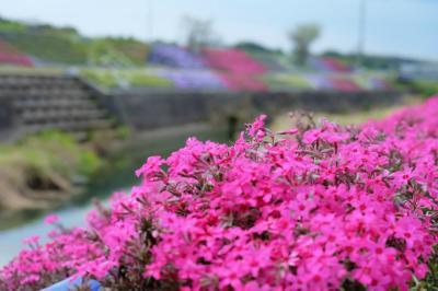 森から川辺へ移動して芝桜を楽しみましょう♪ ~稲美町花めぐり②~