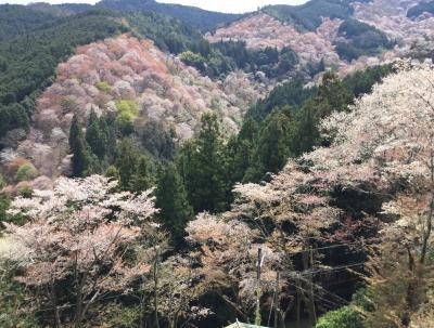 桜見納め吉野山再び