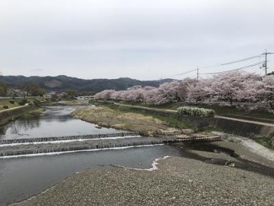 桜散歩 上賀茂神社~賀茂川・半木の道  4月12日