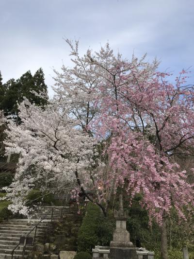 花を求めて⑨ お花見三昧  歩き回った京都女子 旅