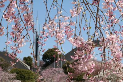 桜ショートトリップ♪ 幸田文化公園のしだれ桜、高美団地の桜、神の声聞いた!?王滝渓谷の枝垂れ桜&緑化センターの桜