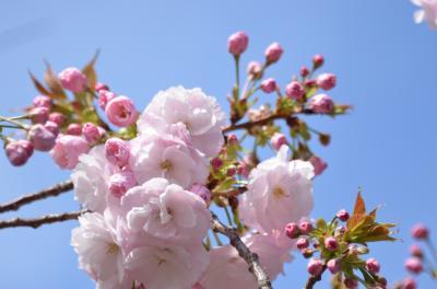 今年も桜を見に大阪造幣局・夙川に行ってきました。
