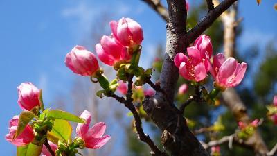 天神川土手に咲く枝垂れ桜の花見 その6完。