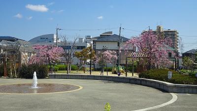天神川土手に咲く枝垂れ桜の花見 その5。
