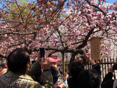 大阪造幣局の通り抜け桜を見に行ってみよう
