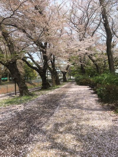 令和を迎える春 満開の桜🌸