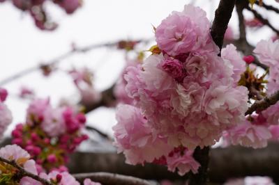 20190414-2 浜離宮庭園、ヤエザクラが咲き始め → 築地 ターレットさんでいつもの