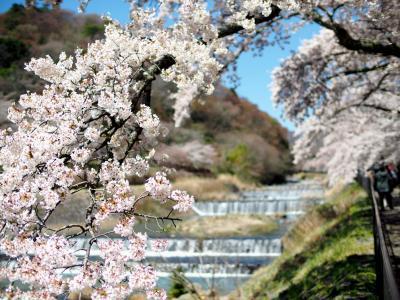 不良夫婦 宮城野早川堤の桜 を訪れる