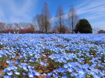 春の世羅高原で満開のネモフィラとしだれ桜に出会う旅