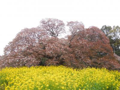 少し盛りを過ぎてしまいましたが、吉高の大桜と小林牧場の桜並木を見に行きました/ヤマザクラとソメイヨシノの競演