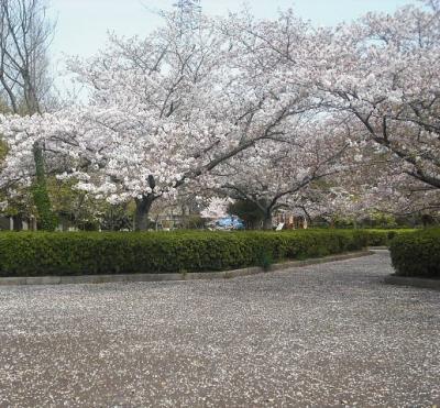 2019年4月 山口県・山陽小野田市 須恵健康公園に4日間桜の咲き具合を見に行きました。