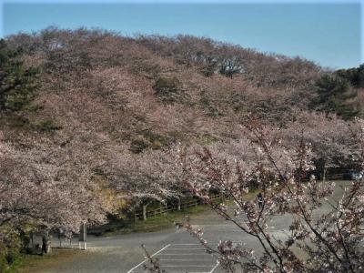 2019年4月 山口県・山陽小野田市 竜王山に桜を見に行きました。