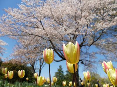 2019年昭和記念公園ファン倶楽部チューリップオフ会~桜もたっぷり楽しめました