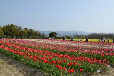 永楽ダムの桜&和泉リサイクル環境公園のチューリップを楽しむ