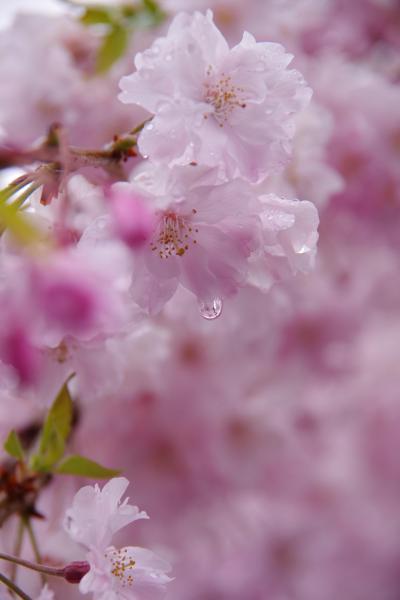 平成最後の桜鑑賞@京とれいん雅洛でゆく雨の嵐山 2019.4.14