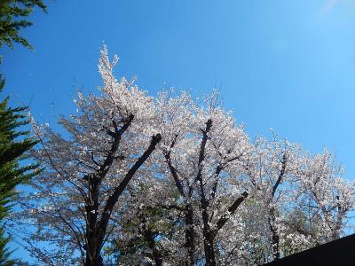 西鶴ケ岡公園の満開の桜