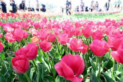 Japan 昭和記念公園ファン倶楽部         チューリップオフ会2019         ~ミツバチばあやの冒険~