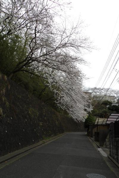 鎌倉・兼松琵琶苑住宅の桜並木