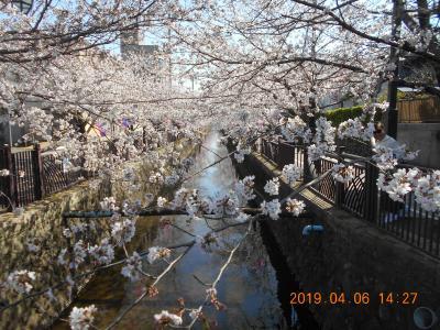金山城と太田市内の満開の桜