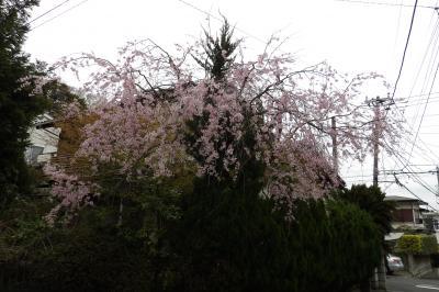 鎌倉・兼松琵琶苑住宅のお宅の枝垂れ桜