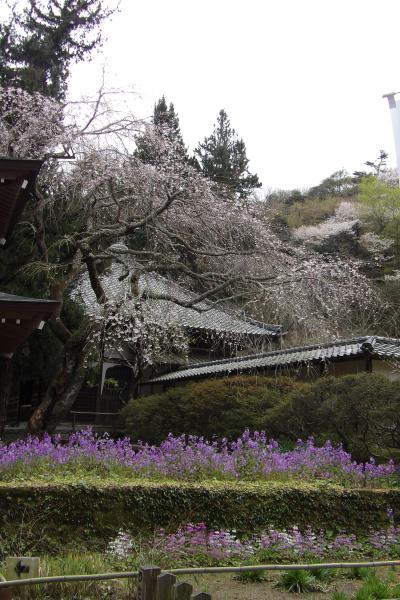 北鎌倉浄智寺の枝垂れ桜-2019年春