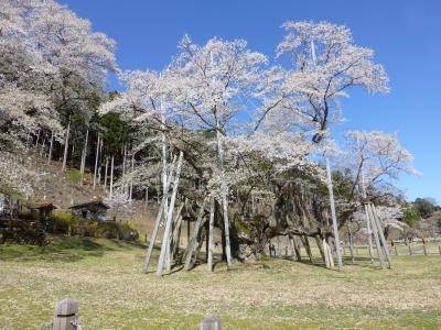 桜が見たくて・・・淡墨桜へ しゅっぱ~つ!!  (岐阜県)