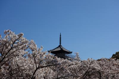 桜の京都てくてく半日めぐり・仁和寺・妙心寺退蔵院・法金剛院