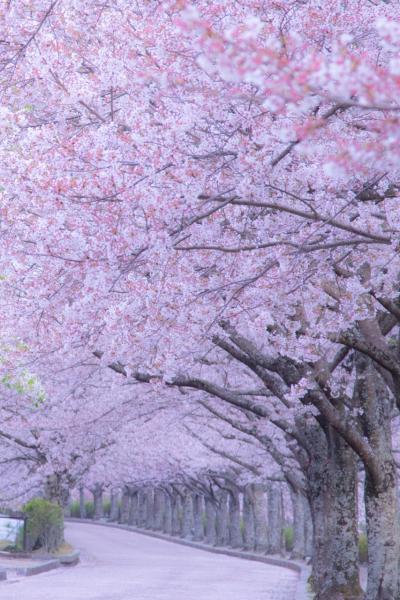 京都 桜めぐり~六孫王神社、和らぎの道、城南宮