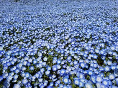 青の世界(花フェスタ記念公園)