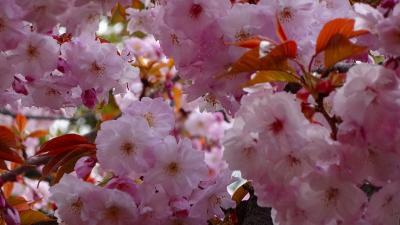 久し振りの・・・大阪造幣局桜の通り抜け その2。