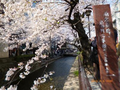 京の桜満開 ('19年4月)