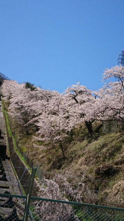 上野原で桜!公園ではないのですが、町民の力で。。