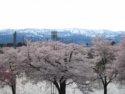 '19 信州 桜&城めぐり1 桜満開の高田城 早朝さんぽ