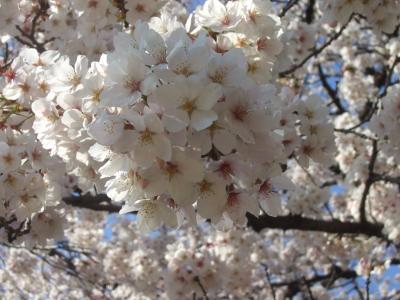 2019年4月3日の新宿御苑 桜メイン