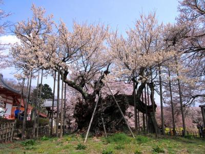 日本三大桜・神代桜と上条集落を歩く